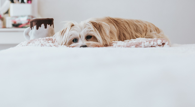 morkie laying on bed