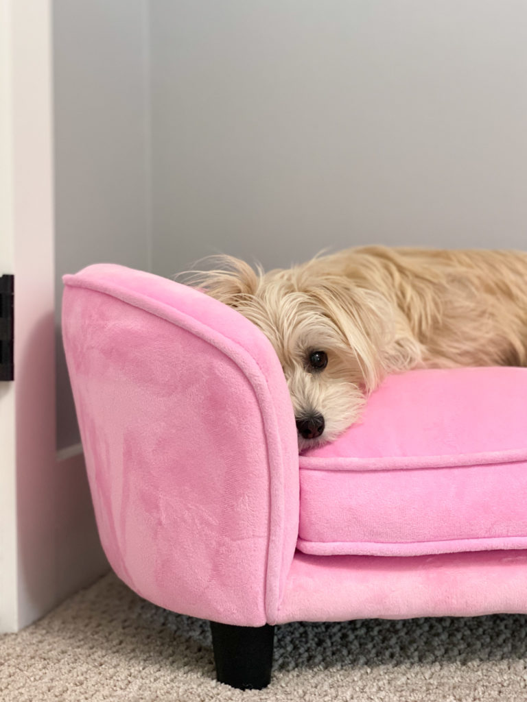morkie on pink dog couch